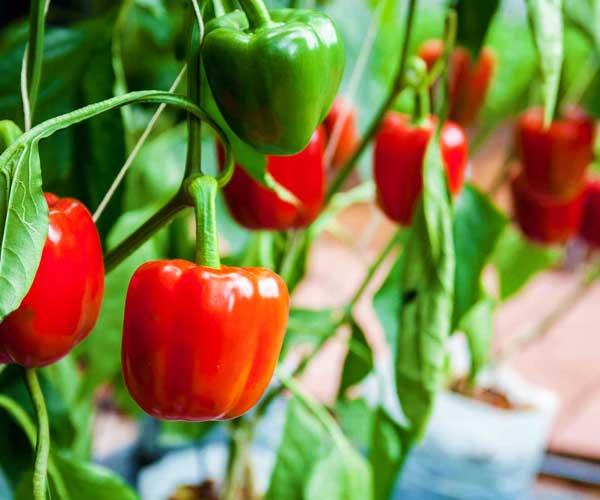 Pepper Genotyping/genetics