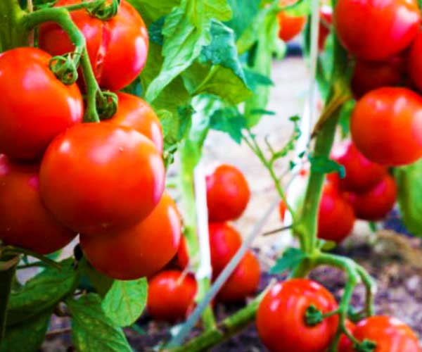 Tomato Genotyping